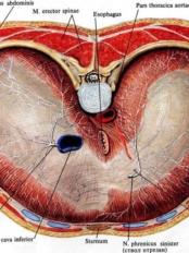 диафрагма тела